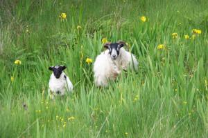 Blackface sheep, Fionnphort Mull