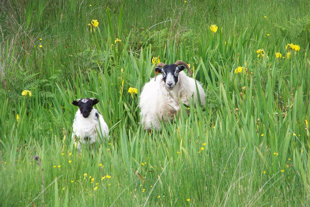 Blackface sheep Fionnphort Mull