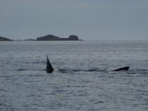 Basking Shark near Iona from Wanderer