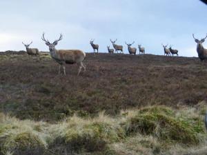Red Deer Herd Isle of Mull