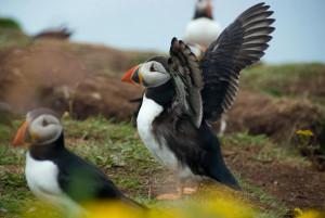 Puffin Staffa Lunga Isle of Mull