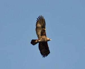 Golden Eagle Isle of Mull