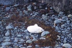 Wildlife, Grey seal pup Isle of Staffa Inner hebrides