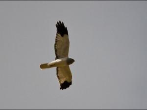 Hen Harrier, Wild About Mull, Mull Scotland, Wildlife