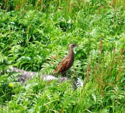 Corncrake, Lunga, Wildlife