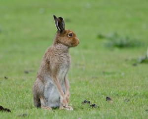 Mountain Hare, Fidden, Fionnphort, Isle of Mull, wildlife