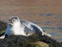 Common Seal Bull Hole Isle of Mull