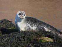 Common seal isle of Staffa