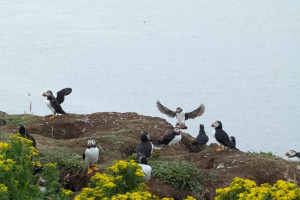 Puffin Staffa Lunga Treshnish Isles