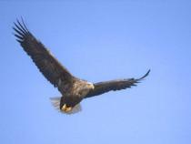Sea or white tailed eagle Isle of Mull