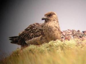 Great Skua, Bonxie, Treshnish Lunga Staffa Mull, wildlife