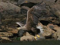 Sea Eagle White tailed Eagle Isle of Mull