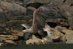 Sea Eagle, White tailed Eagle, Isle of Mull