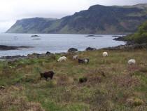 Wild goats Carsaig Bay Isle of Mull