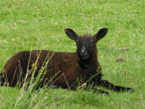 lamb near Dun I Isle of Iona