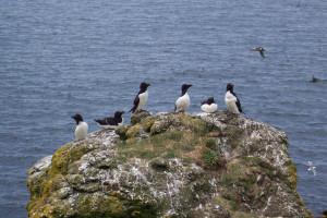 Razorbills Isle of Lunga Treshnish iInner Hebrides