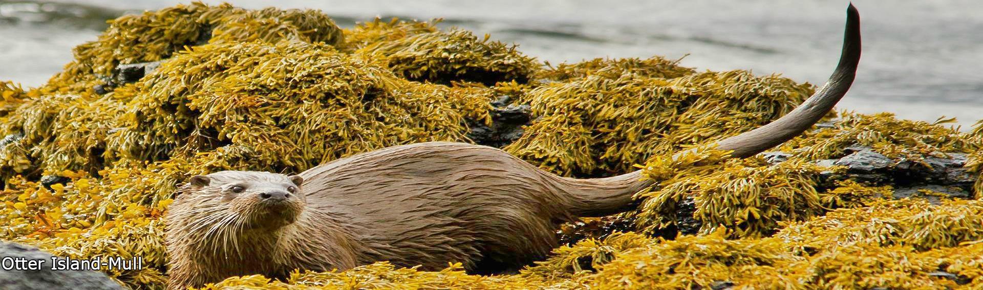 Otter,Isle of Mull