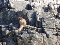 Otter,Fossil Tree,Ardmeanach,Isle of Mull