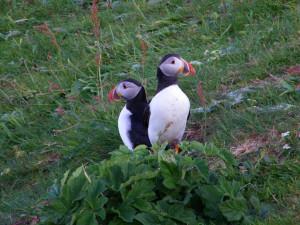 Puffins Lunga Treshnish Isles