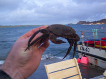 Velvet Crab Fionnphort Pier Mull to Madrid Spain