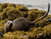 Otter Isle of Staffa Inner Hebrides