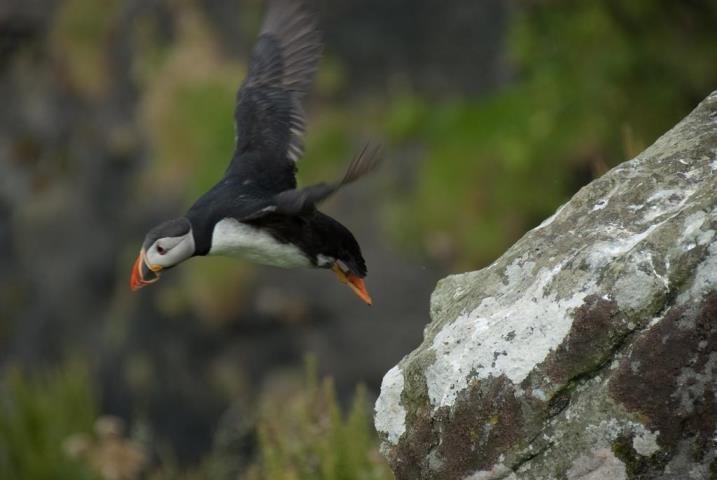 Puffin Isle of Staffa