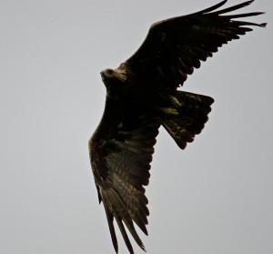 Golden Eagle, Isle of Mull, WIldlife