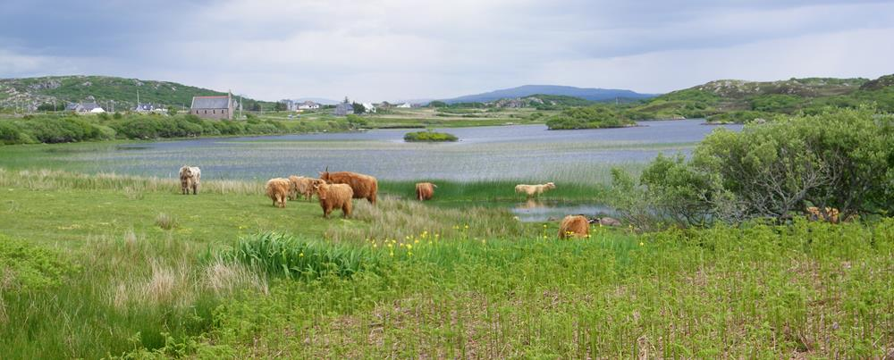 Highland Cows Loch Pottie Isle of Mull