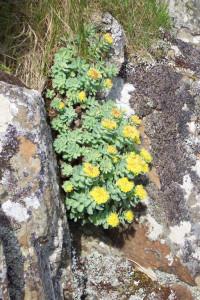Staffa, Roseroot