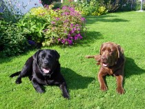 Black and Chocolate Labrador retrievers Seaview bed and breakfast Fionnphort Isle of Mull