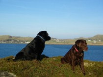 Seaview bed and breakfast Labrador retrievers Isle of Mull Isle of Iona