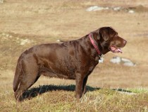 Chocolate labrador retriever Megan Kilmelievan Melting Whispa Seaview bed and breakfast Fionnphort Isle of Mull