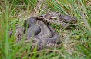 Adder snake, Isle of Mull, wildlife