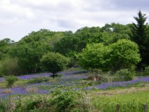 Bluebells Kilunaig Pennygael Mull