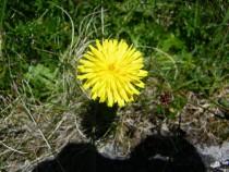 Wildflower Dandilion Mull