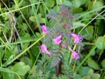 Wild flower marsh Lousewort Fionnphort Isle of Mull June