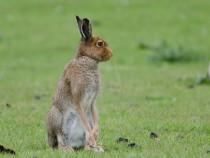 Mountain Irish Hare Fidden Fionnphort Isle of Mull