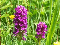 Orchids Traigh Ghael Ross Of Mull