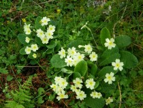 Wildflower Primrose Carsaig Bay Isle of Mull April