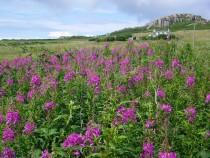 Wild flower purple loosestrife Bruach Mhor Isle of Mull July