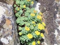 Wildflower roseroot the heros plant Isle of Lunga Treshnish Mull