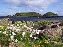 Wild flower sea Campion Isle of Lunga Treshnish