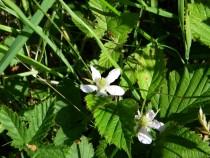 Wildflower bramble Loch Pottie Isle of Mull
