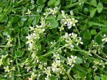 Wildflower common scurvy grass Fionnphort