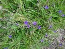 Wildflower devilsbit scabious Fionnphort Mull