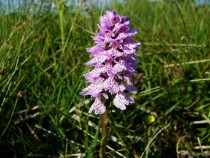 Wild flower Heath spotted Orchid Kilpatrick Isle of Mull