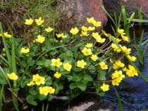 Wild Flower marsh marigold Pottie Isle of Mull