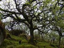 Tree Sottish Oak Atties Wood Tireregan Isle of Mull