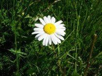 Wild Flower ox eye daisy Ulva