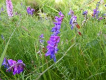 Wildflower purple tufted vetch July
